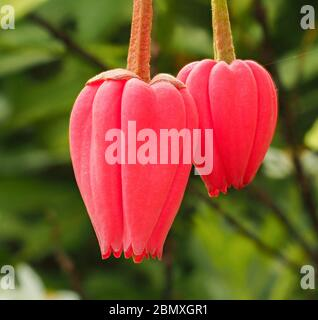 Flowers of the Chilean Lantern Tree Crinodendron hookerianum growing in an English garden in Somerset UK - Stock Photo