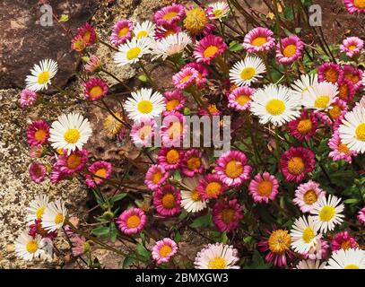 Mexican fleabane Erigeron karvinskianus flourishing in cracks in a garden wall in Somerset UK - Stock Photo