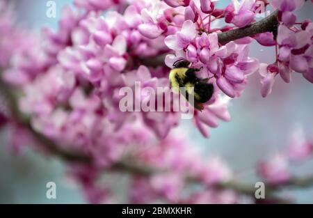Beautiful red bud tree blooms quickly attract the busy bumble bees as they gather pollen in Missouri. Bokeh. - Stock Photo