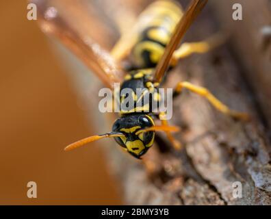 Close up of wasp on wood material - Stock Photo