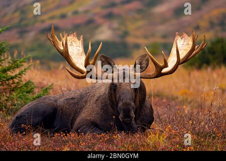 Huge bull moose laying