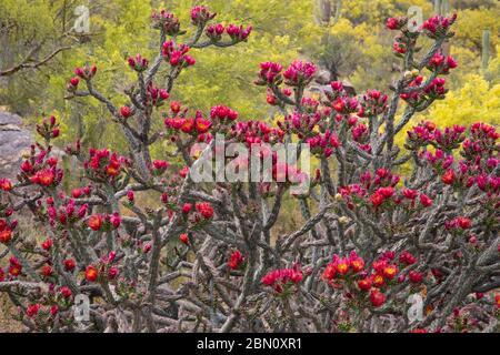 Cholla cactus blooming, Tortolita Mountains, Marana, near Tucson, Arizona.