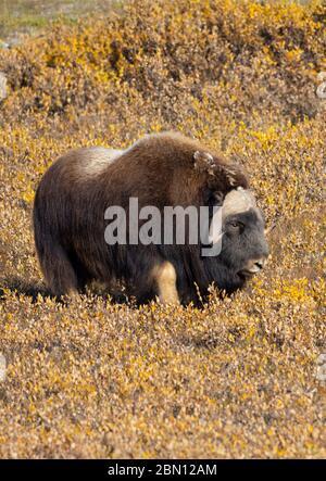 Musk Ox, Autumn, Brooks Range, Arctic Alaska.