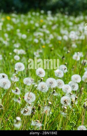 Carpet of white Common Dandelion Seed Heads (Taraxacum), AKA Dandelion Clocks, growing in grassland in late Spring in the UK. - Stock Photo