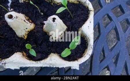 Young seedlings growing in egg boxes standing on patterned table - Stock Photo