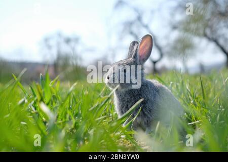 Small grey rabbit in green grass closeup. Can be used like Easter background. Animal photography - Stock Photo