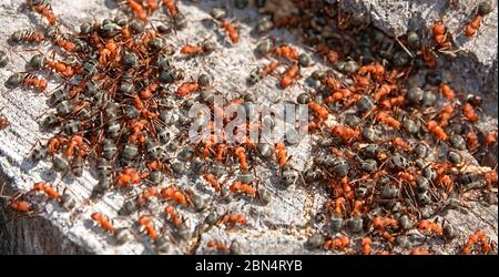 A swarm of Western Thatching ants, also called Formica ants,  Formica obscuripes, in their nest in a rotting aspen stump in central Oregon. - Stock Photo