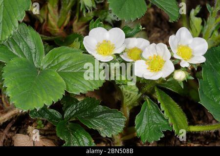 Garden Strawberry  - Fragaria  X ananassa Flowers & leaves