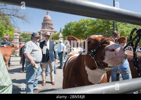 Contestants in the Grand Champion Steer event parade their entries on 11th street in front of the Texas Capitol during the 75th anniversary of the Star of Texas Rodeo.  The rodeo draws thousands of central Texas youth to compete in events from calf roping to cooking.  March 22, 2012 ©Bob Daemmrich - Stock Photo
