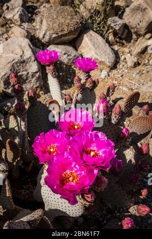 Beavertail cactus in bloom, Anza Borrego Desert State Park, California, USA - Stock Photo