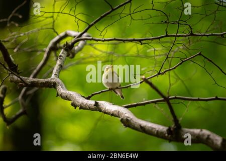 A wood warbler sitting on a small twig in a deciduous forest in springtime - Stock Photo