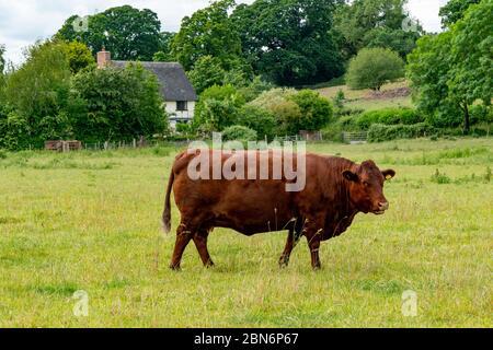 Devon Ruby Red Cow in a field - Stock Photo