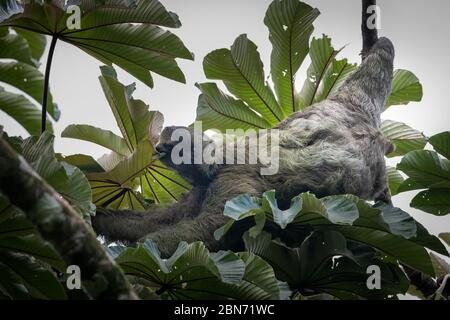 Three-toed sloth (Bradypus variegatus), Tortuguero, Costa Rica - Stock Photo