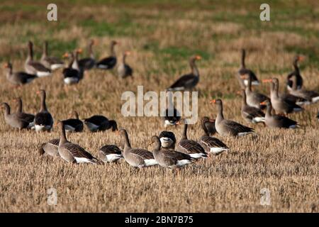 PINK-FOOTED GEESE (Anser brachyrhynchus) feeding in a stubble field, Northumberland, UK. - Stock Photo