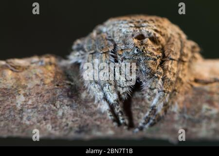 Bark spiders, Caerostris sp. are in the orb-weaver family and are camouflaged well on tree bark, Newlands Forest Table Mountain Cape Town South Africa - Stock Photo