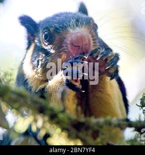 Grizzled Giant Squirrel (Ratufa macroura), Horton Plains National Park, Sri Lanka. - Stock Photo