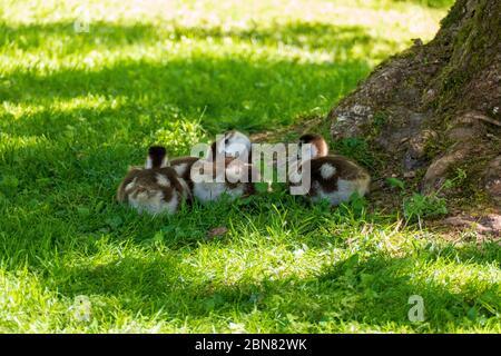 Junge Nilgans Küken auf einer Wiese - Stock Photo