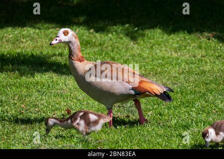 Junge Nilgänse Küken mit ihrer Mutter auf einer Wiese - Stock Photo