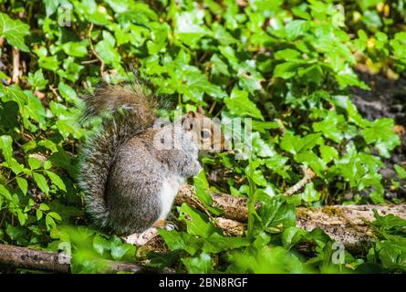 Grey Squirrel, Sciurus carolinensis, foraging for food in a local woodland - Stock Photo