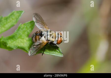 Tachinid Fly, Gymnoclytia sp. - Stock Photo