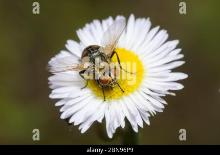 Tachinid Fly, Gymnoclytia sp., foraging on Fleabane, Erigeron sp. - Stock Photo