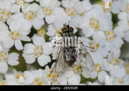 Tachinid Fly, Tribe Dexiini, foraging on Yarrow, Achillea millefolium - Stock Photo