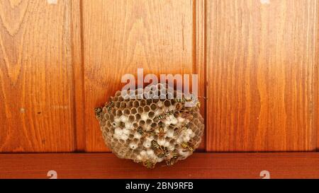 Wasp nest with wasps sitting on it. Macro. Static shot. Nature. work. - Stock Photo