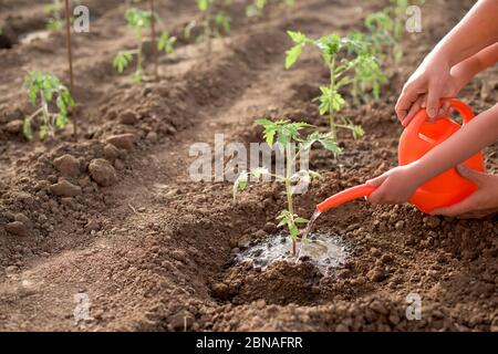 Mother and child seed and watering new tomato plant - Stock Photo