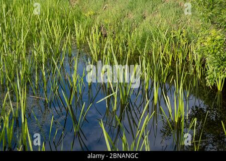 Tranquil landscape at a ditch, grasses and leaves on the edge of the ditch, the blue sky reflected in the water.