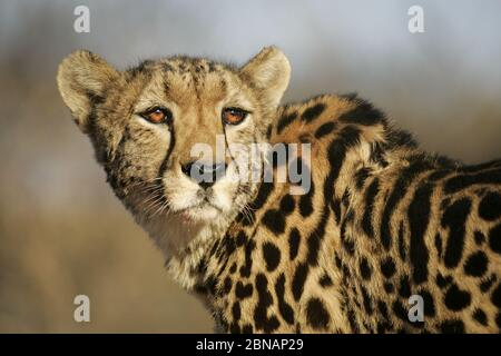 Portrait of rare adult female endangered King Cheetah in Kruger South Africa - Stock Photo