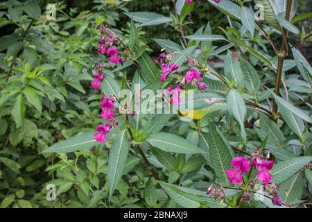 Pink flowers of Himalayan Balsam, latin name Impatiens glandulifera,  at Stara planina in southeastern Serbia Stock Photo