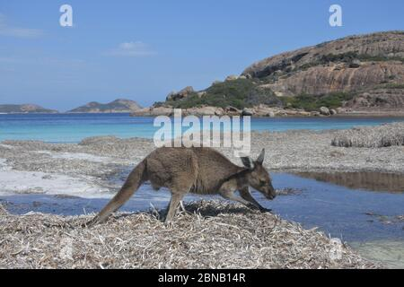 One Kangaroo on the beach in Lucky Bay Cape le Grand in Western Australia - Stock Photo