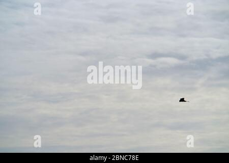Kestel,Falco tinnunculus, hovering. - Stock Photo