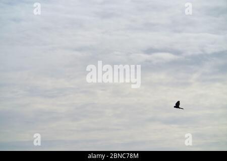 Kestel,Falco tinnunculus, hovering. - Stock Photo