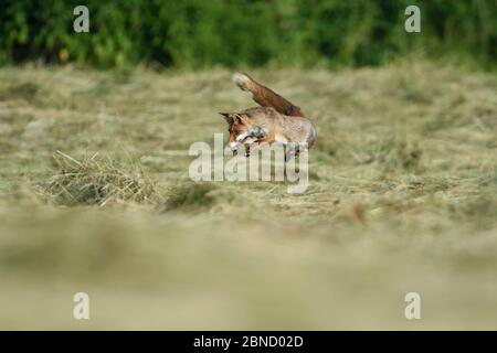 Red fox (Vulpes vulpes) hunting in hay meadow, Vosges, France, June. - Stock Photo
