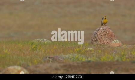 Western meadowlark (Sturnella neglecta) on prairie grass in Grasslands National Park, Saskatchewan, Canada, July. - Stock Photo