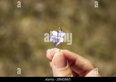 Violet in a woman's fingers. Focus on violet. - Stock Photo