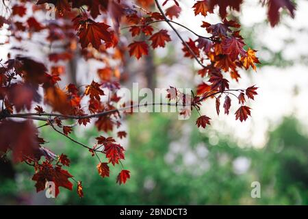 Beautiful branches of a Norway maple (Crimson King, Goldsworth Purple) in sunlight.  City background. - Stock Photo