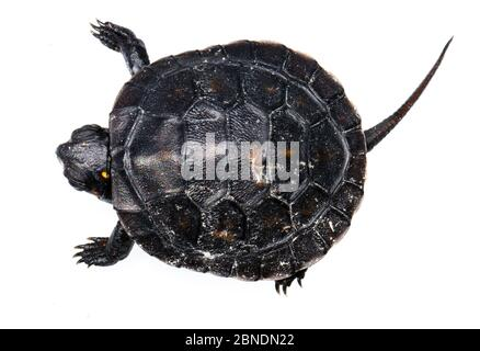 Spotted turtle (Clemmys guttata) hatchling, western Michigan, USA. Meetyourneighbours.net project - Stock Photo