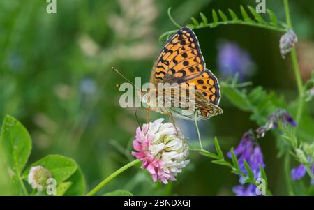 Niobe fritillary butterfly (Argynnis niobe) with clover and vetch flowers, Uusimaa, Finland, July. - Stock Photo