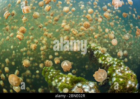 Aggregation of Golden jellyfish (Mastigias sp.) above a fallen tree, Jellyfish Lake, Eil Malk island, Rock Islands, Palau. Tropical north Pacific Ocea - Stock Photo