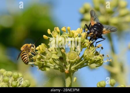Ivy bee (Colletes hederae) feeding on Ivy flowers (Hedera helix) near a Noon fly (Mesembrina meridiana), Wiltshire garden, UK, September. - Stock Photo