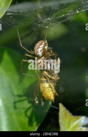 Common hammock-weaver / European hammock spider (Linyphia triangularis) with a Common wasp (Vespula vulgaris) it has caught in its web among ivy leave - Stock Photo