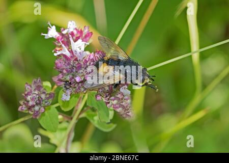 Tachinid fly (Nowickia ferox) grooming on wild marjoram, Hutchinson's Bank, New Addington, London  August - Stock Photo