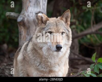 Grey Wolf Canis lupus Portrait - captive animal. - Stock Photo