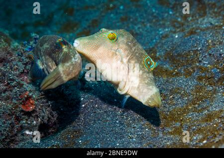 Bennett's toby or pufferfish (Canthigaster bennetti) courting.  Lembeh, Sulawesi, Indonesia.