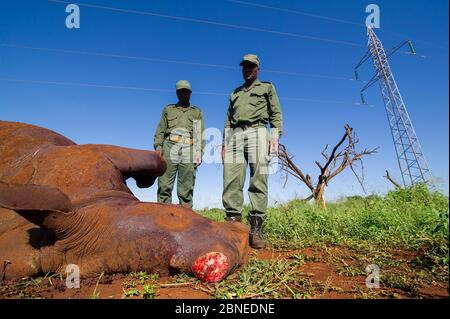 Rangers looking at dead  White Rhino (Ceratotherium simum) The Rhino was killed accidentally by its mother. The horn was cut by the rangers, to save i - Stock Photo