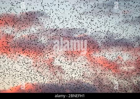 Large flock of Common starlings (Sturnus vulgaris) gathering before landing at winter roost, The Netherlands. November