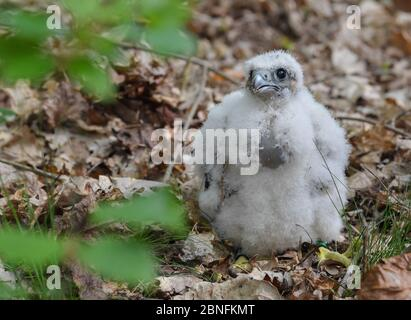 13 May 2020, Brandenburg, Sauen: A young peregrine falcon (Falco peregrinus) stands on the forest floor in the Sauener Forst. On the same day the offspring was ringed in a nest of peregrine falcons. The two volunteers Silvio Herold and Winfried Nachtigall from the Arbeitskreis Wanderfalkenschutz e.V. (AWS) took three chicks from the nest in the top of a mighty pine tree. The 26-day-old young peregrine falcons were measured, weighed and fitted with two rings each. During this time the parent birds circled over the forest area. After 20 minutes, the three birds were returned safely to their nest