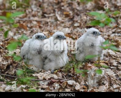 13 May 2020, Brandenburg, Sauen: Three young peregrine falcons (Falco peregrinus) stand on the forest floor in the Sauener Forst. On the same day, the offspring were ringed in a nest of peregrine falcons. The two volunteers Silvio Herold and Winfried Nachtigall from the Arbeitskreis Wanderfalkenschutz e.V. (AWS) took three chicks from the nest in the top of a mighty pine tree. The 26-day-old young peregrine falcons were measured, weighed and fitted with two rings each. During this time the parent birds circled over the forest area. After 20 minutes, the three birds were returned safely to thei